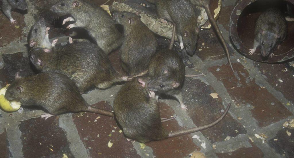 уничтожение крыс в Ревде